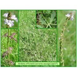 Verveine sauvage - Verbena officinalis - 117