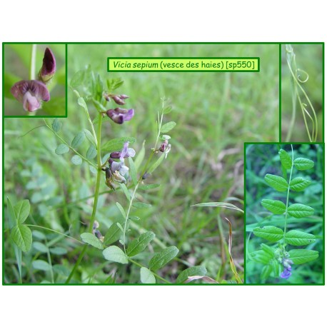 Vesces des haies - Vicia sepium - 550