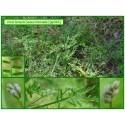 Vesce hérissée - Vicia hirsuta - 362
