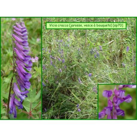 Vesce à bouquets, jarosse - Vicia cracca - 070