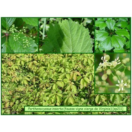 Vigne vierge sauvage - Parthenocyssus quinquefolia - 211