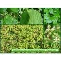 Vigne-vierge de Virginie - Parthenocyssus inserta - 211