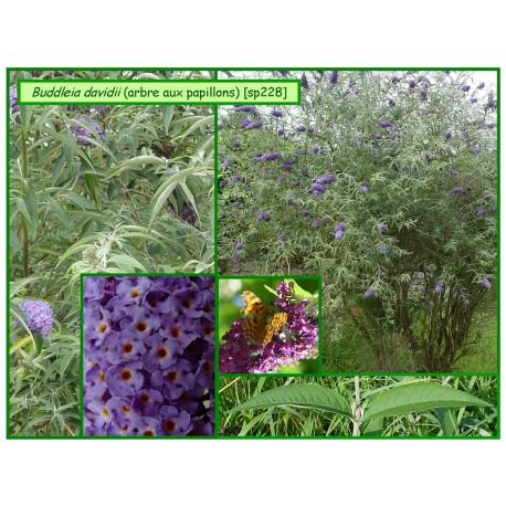 Arbre aux papillons - Buddleia davidii - 228