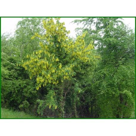 Aubour cytise - Laburnum anagyroides - 297