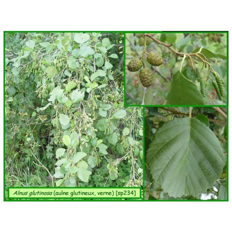 Aulne glutineux - Alnus glutinosa - 234