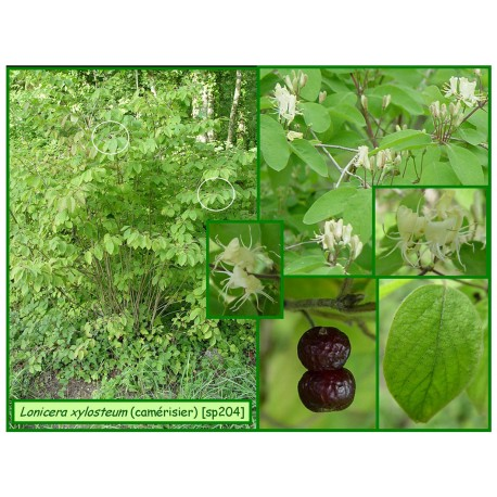 Camérisier - Lonicera xylosteum - 204