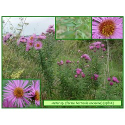 Aster horticole - Aster sp. - 514