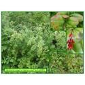 Berberis épine-vinette - Berberis vulgaris - 585