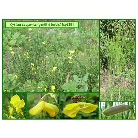Genêt à balai - Cytissus scoparius - 218