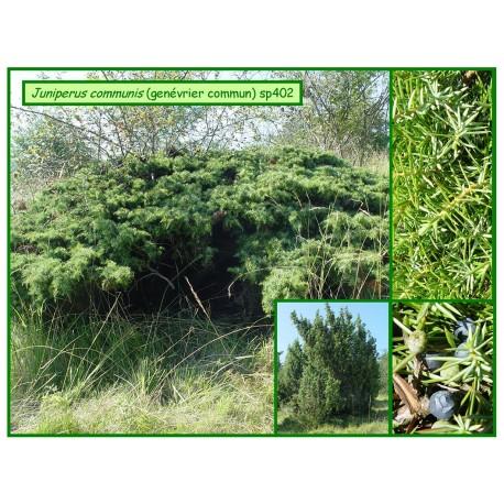 Genévrier commun - Juniperus communis - 402