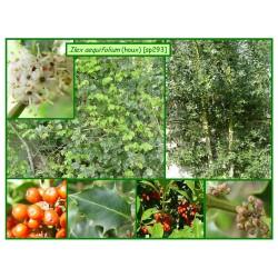 Houx - Ilex aequifolium - 293