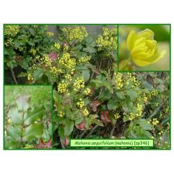 Mahonia - Mahonia aequifolium - 346