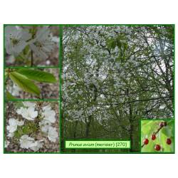 Merisier - Prunus avium - 270