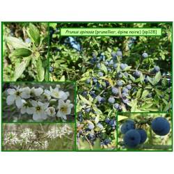 Prunellier - Prunus spinosa - 128