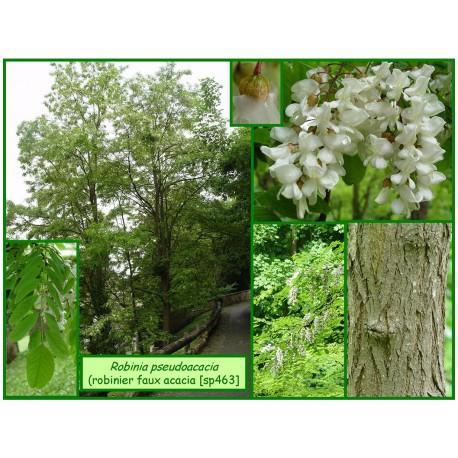 Robinier fauxacacia - Robinia pseudoacacia - 463