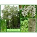 Robinier faux acacia - Robinia pseudoacacia - 463