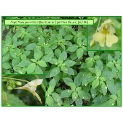 Balsamine à petites fleurs - Impatiens parviflora - 116