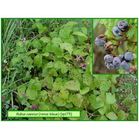 Ronce bleue - Rubus caesius - 175