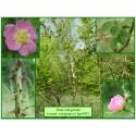 Rosier rubigineux - Rosa rubiginosa - 442