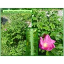 Rosier rugueux - Rosa rugosa - 340
