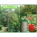 Sorbier des oiseleurs - Sorbus aucuparia - 516