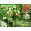 Viorne lantane - Viburnum lantana - 024