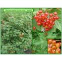 Viorne obier - Viburnum opulus - 416