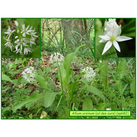 Ail des ours - Allium ursinum - 682