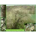 Bois de Sainte-Lucie - Prunus mahaleb - 673