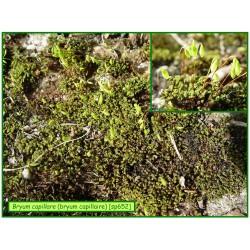 Bryum capillaire - Bryum capillare - 652