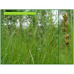 Carex en épi - Carex spicata - 719