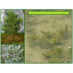 Cornifle épineux - Ceratophyllum demersum - 717