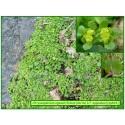 Dorine à feuilles opposées - Chrysosplenium oppositifolium - 664