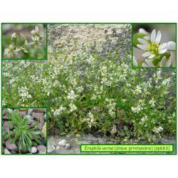 Drave printanière - Erophyla verna - 663