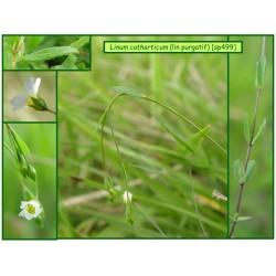 Lin purgatif - Linum catharticum - 499