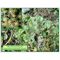 Marchantie polymorphe - Marchantia polymorpha - 438