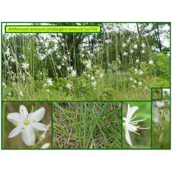Phalangère rameuse - Anthericum ramosum - 733