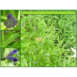Scutellaire casquée - Scutelleria galericulata - 731