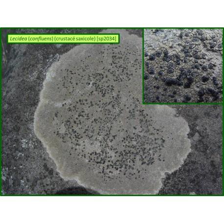 Lecidea (confluens) - 2034