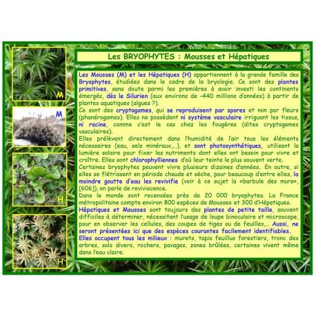 Mousses, hépatiques, bryophytes